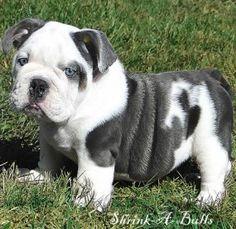Blue Bulldog. HOW CUUUUUUUUUUTE!! @abb
