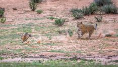 Thrilling wildlife sightings to inspire a trip in 2019 - Wild Card Wild Park, Spotted Cat, In 2019, Pumping, Wildlife, African, Inspire, Cats, Nature