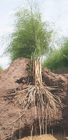 Tips on growing asparagus.