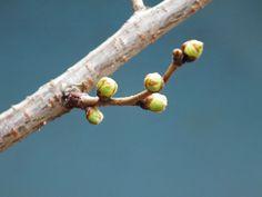 Bourgeons de cerisiers