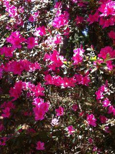 Azaleas no parque da Mooca