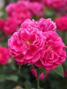 Rose, Ferdinand de Lesseps