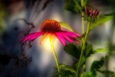 Echinacea Sunrise / Seasons Impressions - Original nature photography by Bob Orsillo  Wild Echinacea flowers  Copyright (c)Bob Orsillo / http://orsillo.com All Rights Reserved  Buy art online. Buy photography online.