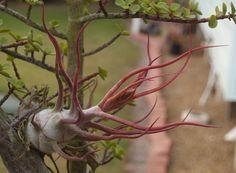 red tillandsia pseudobaileyi