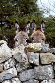 - Curious / Currarevagh House / Donkey / Hello / Happy / Animals / Photography / Cute / Cute The Effe - Animals And Pets, Baby Animals, Funny Animals, Cute Animals, Wild Animals, Beautiful Horses, Animals Beautiful, Simply Beautiful, Cute Donkey