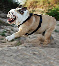 Run bulldog run!!!