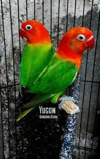 Types of lovebirds chart | Birds :-) | Pinterest | Bird ...