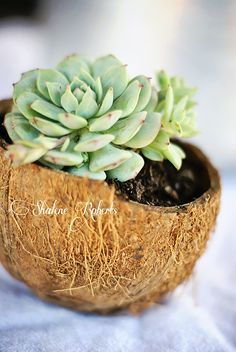 Succulents in a Coconut Half Shell faith composition Succulent Terrarium, Cacti And Succulents, Planting Succulents, Planting Flowers, Succulent Ideas, Indoor Garden, Garden Pots, Air Plants, Indoor Plants