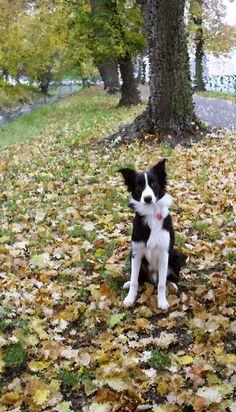 Border collie puppy and autumn <3