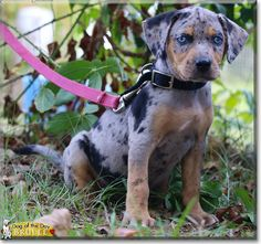 Brulee the Catahoula Leopard Dog, the Dog of the Day