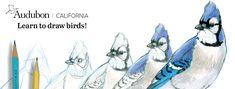 Bird Drawing Classes with John Muir Laws | Richardson Bay Audubon Center Bird Drawings, Drawing Classes, Bird Guides, Wildlife Biologist, Local Hero, Nature Drawing, Photo Blue, Nature Journal, John Muir