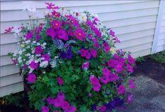 Petunia - Purple Wave - Pinetree Garden Seeds - Flowers  - 1                                                                                                                                                                                 Mais