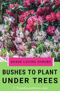 Find out which bushes to plant under trees in the shade garden in your backyard or front yard. These shrubs will help to brighten up your yard. #fromhousetohome #bushes #shade #gardeningtips #gardening #gardenideas Plants That Love Shade, Shade Loving Shrubs, Shade Shrubs, Shade Garden Plants, Shade Perennials, Shaded Garden, Evergreens For Shade, Kalmia Latifolia, Gardens