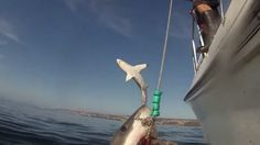 Viral Video: Breaching Great White Shark Photobombs Feeding Friend