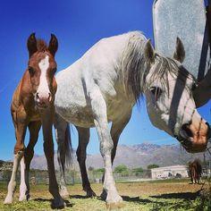 Arabians at Al-Marah Arabians, Tucson, AZ. Photo by Andrea Arden.