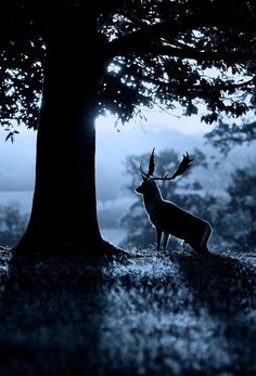 Silhouette animals deer backlit antlers horns nature landscapes trees forest grass leaves moonlight moon light dream majestic night scenic m. Beautiful Creatures, Animals Beautiful, Cute Animals, Wild Life, Cool Pictures, Beautiful Pictures, Dame Nature, Mundo Animal, Tree Forest
