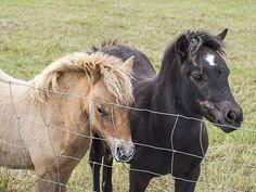 Shetland Ponies - Hardy's Animal Farm, Skegness.