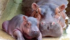 Hippopotamus Mother and Baby