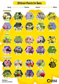 Bees get food from lots of different plants throughout the year. As well as planting flowers, think about herbs, fruit, vegetables, shrubs and trees - they can all provide nectar when they are in flower. Use our handy seasonal guide to help your garden bloom for bees all year round.