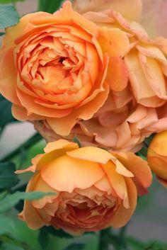 The Lady of Shallot English Rose