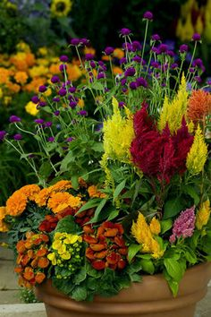 Summer brights:  bachelor's buttons, celosia, pocketbook plant (calceolaria), marigolds