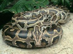 I seriously need a burmese python in my life. They are SO gorgeous!!