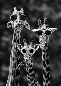 & so cool!& the giraffe on the left. & look at our shades!& says the middle giraffe.& says the giraffe on the right. Typical, he was only talking about himself! Animal Pictures, Funny Pictures, Funny Images, Quote Pictures, Flower Pictures, Pictures Images, Family Pictures, Picture Quotes, Funny Animals