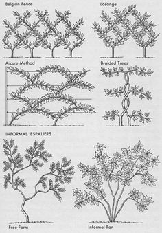 """like the Belgian espalier """"fence"""" -- have thought about planting apple or peach trees (if we could find something that can survive the climate) Fruit Garden, Garden Trees, Edible Garden, Garden Plants, Herb Garden, Backyard Fences, Garden Fencing, Garden Landscaping, Cerca Natural"""