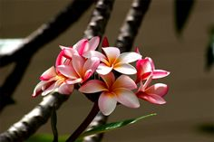 Google Image Result for http://www.math.hawaii.edu/~dale/myers/flowers/plumeria-pink-hig.jpg