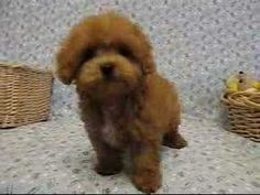 Tiny Toy Poodle... wow wow wow - YouTube hi