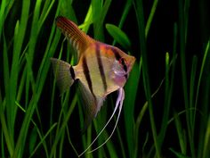Freshwater Angelfish – Fish Breeds – Information and pictures of saltwater and fresh water fish Tropical Aquarium, Tropical Fish, Aquariums, South American Cichlids, Vida Animal, Fish Breeding, Freshwater Aquarium Fish, Fish Wallpaper, Angel Fish