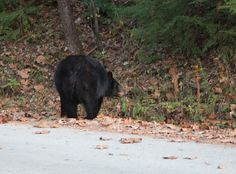 Black bear crossing the street in the Smoky Mountains