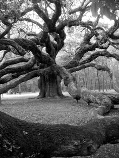 Charleston sc, black and white, tree. Angel Oak by HildaGotRocks on Etsy, $18.00