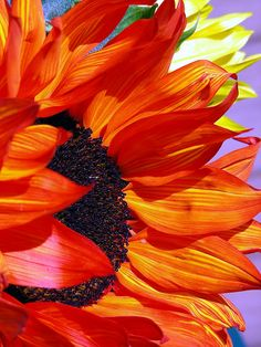 Sunflower with petals like flames. Happy Flowers, My Flower, Beautiful Flowers, Sun Flowers, Beautiful Gorgeous, Fleur Orange, Orange Red, Sunflowers And Daisies, Wildflowers