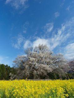 The big cherry tree of Isshingyo (Isshingyo no Oozakura), Minami-Aso, Kumamoto, Japan