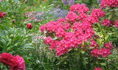 Pin by frama on rhododendronazaleas pinterest gardens mightylinksfo
