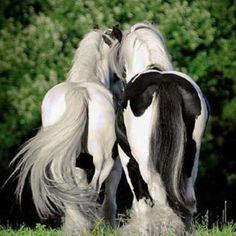 Beautiful paint horses - #horse #horses #paint #animal #animals #black #white - tå√