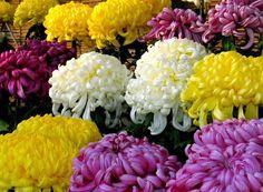 국화꽃 축제