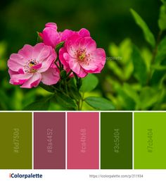 Color Palette Ideas from Flower Pink Rose Family Image | iColorpalette