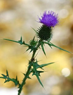 Thistle, the flower of Scotland