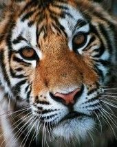 Tigers in Captivity -The US has one of the largest populations of captive tigers in the world − estimated at perhaps 5,000 tigers. They are not just found in zoos and rescue centers; tigers in the U.S. are in private hands and even end up living in backyards. In many jurisdictions, people can legally keep a tiger on their property without reporting it to local officials or neighbors. In some states, it is easier to buy a tiger than to adopt a dog from a local animal shelter.
