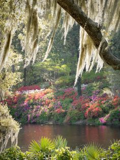 Spanish Moss, Middleton Place Gardens, Charleston, SC