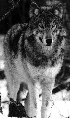 Eastern Timber Wolf | animal_eastern_timber_wolf
