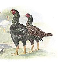 "Dark Cornish At one time they were known as ""Indian Games"" because of the use of both Old English Game chickens and Asells. They are unique because of their thick, compact bodies, unusually wide backs, and broad, deep breasts. The hens are nice layers of firm-shelled brown eggs and wonderfully hardy"