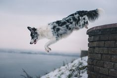Border Collie, by Anna Tyurina.