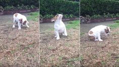 13-week-old English bulldog puppy named Shelby is completely dumbfounded when she sees rain for the first time.