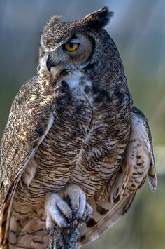 Gray Horned Owl by Merlle Phillips