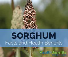 Sorghum commonly known as broom corn, great millet, durra, jowari and milo is a large grain plant native to Northern Africa which is widely cultivated in tropical and subtropical regions these days…