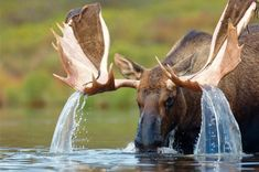 Moose  funnywildlife:  conbz:    Water off a Bull Moose' antlers Funny Animals, Animals And Pets, Zoo Animals, Animals Of The World, Cute Animals, Beautiful Creatures, Animals Beautiful, Majestic Animals, Nature Pictures