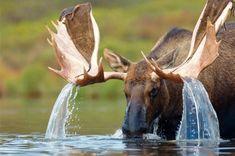 Uma cascata nos chifres de um alce.